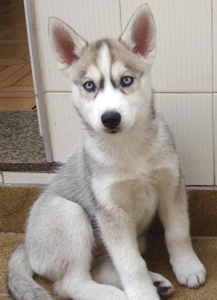 Siberian Husky For Adoption