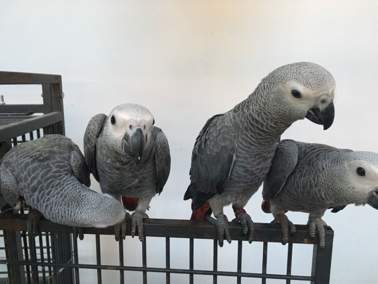 Talking African Grey parrots for sale classified at New India